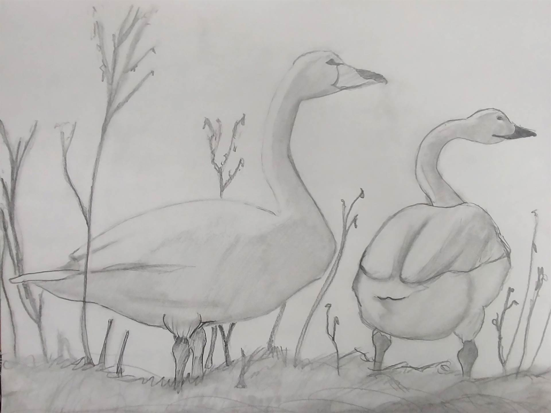 Drawing of 2 geese